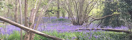 FAQ. BLUEBELLS WIDESTRIP